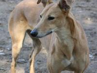 Greyhound - Matereka - Large - Adult - Female - Dog