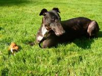 Greyhound - Missy - Large - Adult - Female - Dog I'm