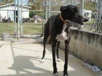 Greyhound - Mo's Tibbs- Tibbs - Large - Adult - Male -