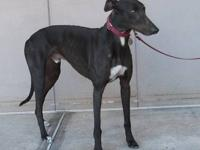 Greyhound - Owen - Large - Adult - Male - Dog