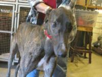 Greyhound - Rico's Mirassou - Large - Adult - Male -