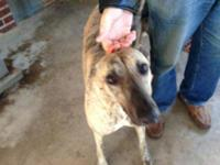 Greyhound - Sadie - Large - Young - Female - Dog Race