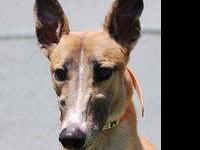 Greyhound - Tio - Large - Adult - Male - Dog Race name
