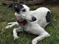 Greyhound - Val - Large - Adult - Female - Dog What