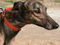 Greyhound - Wild Ruby Tuesday - Large - Adult - Female
