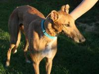 Greyhound - Ww's Chokito - Large - Adult - Male - Dog