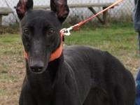 Greyhound - Harley - Large - Young - Female - Dog