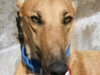 Greyhound - Willys - Large - Adult - Male - Dog Willys