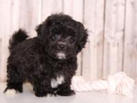 Griffin is such a cuddly, friendly, male, Shih-Poo!! He