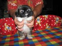 Griffonese Puppies - CKC Registered. This is a cross