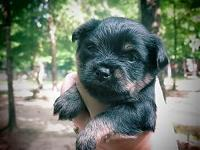 One male and one women griffonshire puppy for sale.