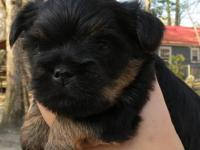 Mom is yorkshire terrier and dad is brussels griffon.