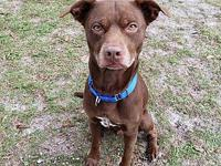 Grizz's story Grizz is a mellow 4-year-old male Choc.