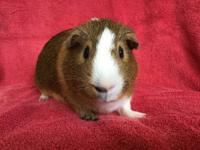 Grizzly is a male agouti, orange, and white American
