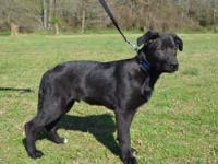 Grizzly is a handsome 3-4 month old Labrador Retriever