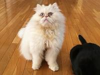 GROOT's story GROOT is a wonderful CREAM PERSIAN with