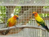 We have a group of 20 beautiful Sun Conures 1-2 years