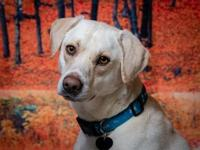 Grover's story Grover is a 2 year old Lab mix anxious