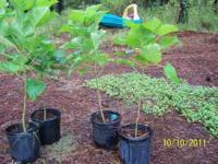 We have over 500 Catalpa trees for sell. Beautiful,
