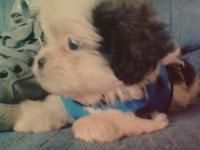 gruff my adorable shih poo or shih tzu poodle mix he's