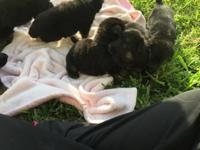 GSD puppies born on Cinco De Mayo. Both parents are on