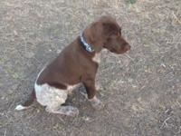 Kojo is our last GSP liver and white male puppy. He is