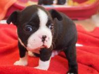 GTUT Boston Terrier puppies for adoption.Good families