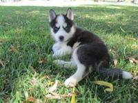 Animal Type: Dogs Breed: Siberian Husky This Siberian