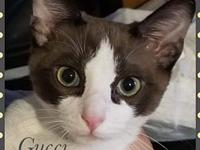 My story GUCCI - M, DSH, Siamese Mix, approximately 4