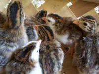 We have pearl and pied and lavender Guinea Fowl chicks