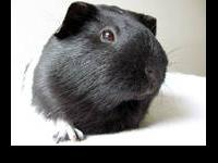 Guinea Pig - 1210-1241 - Small - Baby - Small & Furry