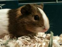 guinea pig is a 6 month old female , comes with cage ,