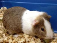 Guinea Pig - Alexander - Small - Adult - Male - Small &