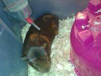the guinea is male. he loves to move around and run in
