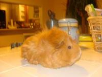 The guinea pig is female and is a light brown in color.