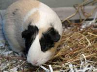Guinea Pig - Angel - Small - Adult - Female - Small &