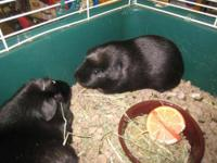Guinea Pig - Angelo - Small - Adult - Male - Small &