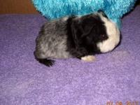 Young guinea pigs looking for homes, many colors and