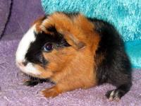 Adorable guinea pigs in a variety of colors and breeds,