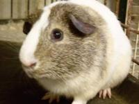 Guinea Pig - Bandit - Small - Baby - Male - Small &