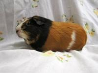 Guinea Pig - Bernie - Medium - Young - Male - Small &