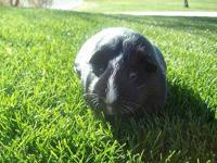 Guinea Pig - Blaze - Medium - Senior - Female - Small &