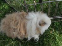 Guinea Pig - Bryndon - Small - Young - Male - Small &