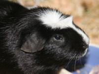 Guinea Pig - Buddy - Medium - Adult - Male - Small &
