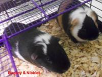 Guinea Pig - Bugsey & Nibbles - Small - Young - Male