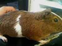 Guinea Pig - Bugsy - Small - Adult - Male - Small &