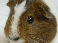 Guinea Pig - Cherry - Small - Adult - Male - Small &
