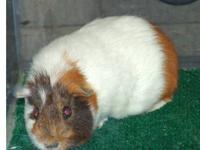 Guinea Pig - Chip - Medium - Adult - Male - Small &