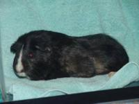 Guinea Pig - Cici - Medium - Adult - Female - Small &