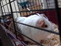Guinea Pig - Coco - Small - Adult - Male - Small &